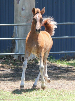 TDD filly out of Welsh D mare (WA)