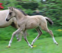 Foal bred in Germany