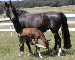 DP foal owned by Shahron Ameer