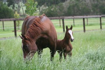 TDD foal (warmblood mare)
