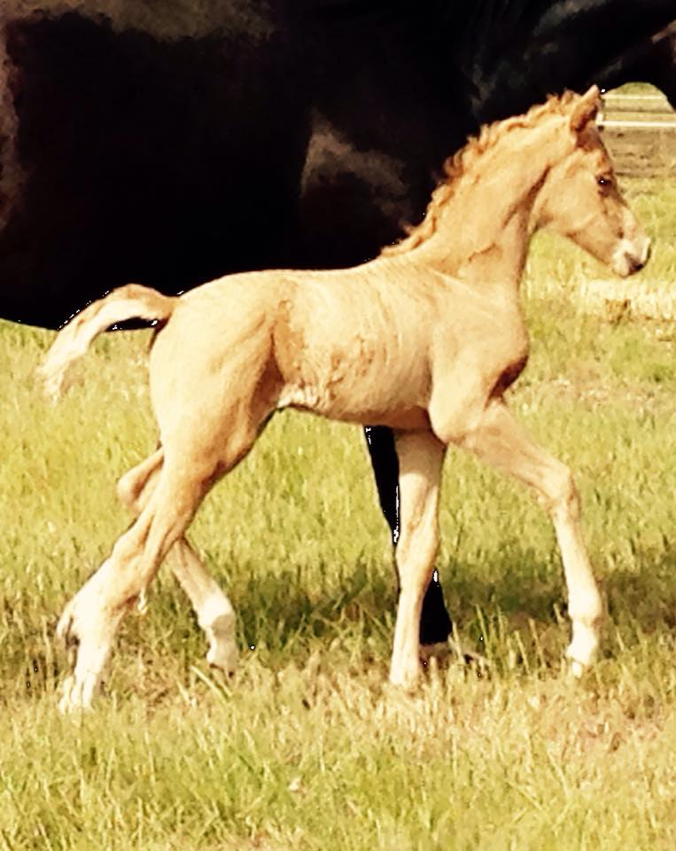 Glamour Rock - Palomino colt