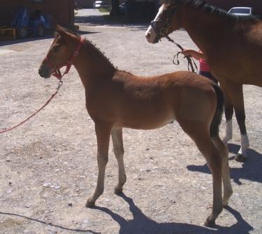 TDD foal Dunja 2 (Germany)