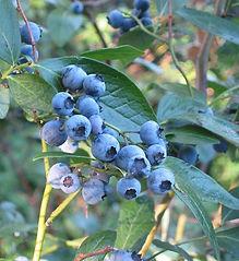 Heidelbeeren Wikipedia.jpg