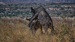 African Buffalo Fun