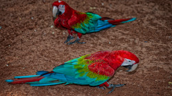 Red and Green Macaws