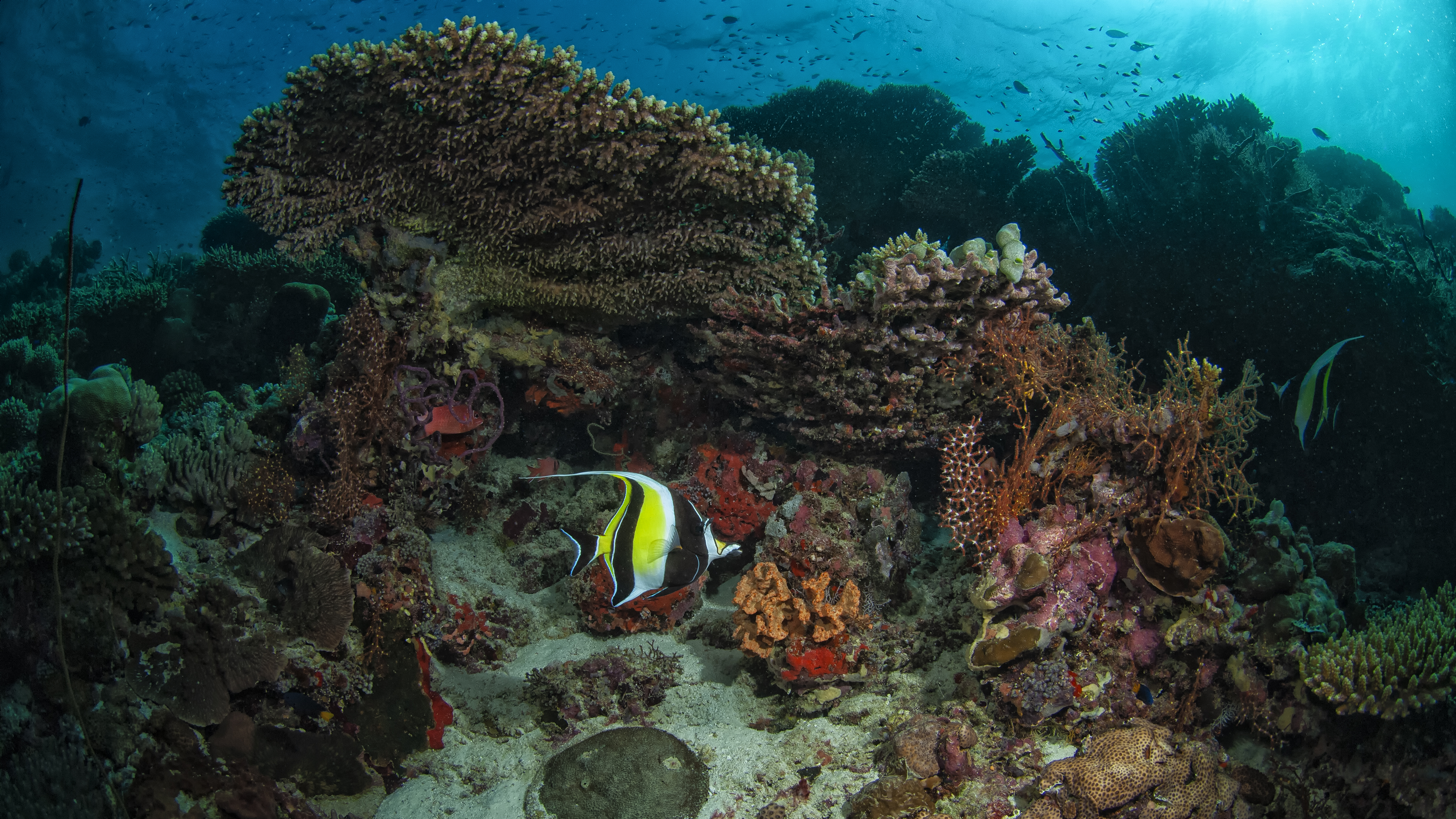 Moorish Idol in the Red Sea