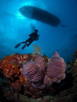 Lavander Sponge with Diver