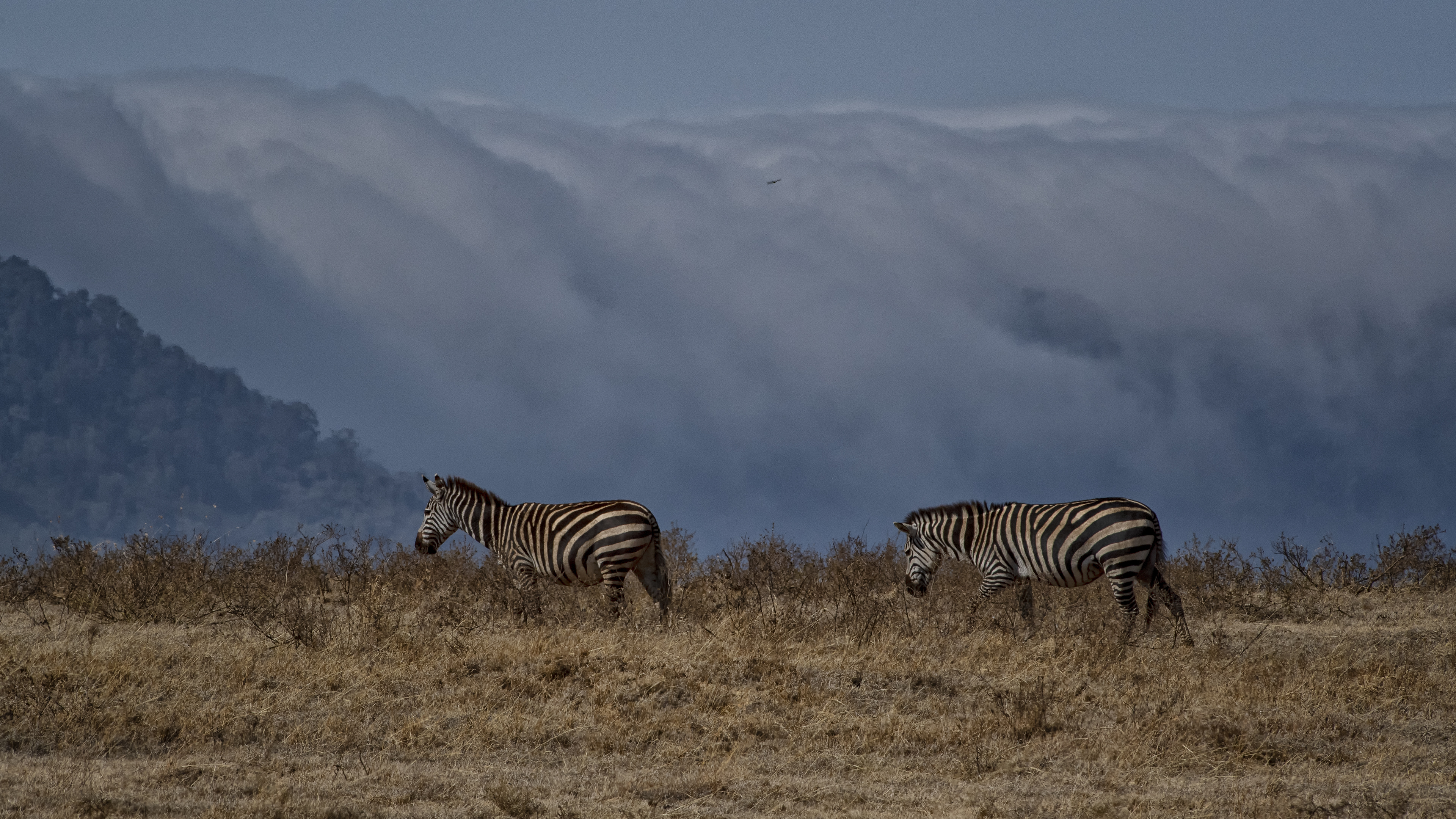 Zebras with Fog