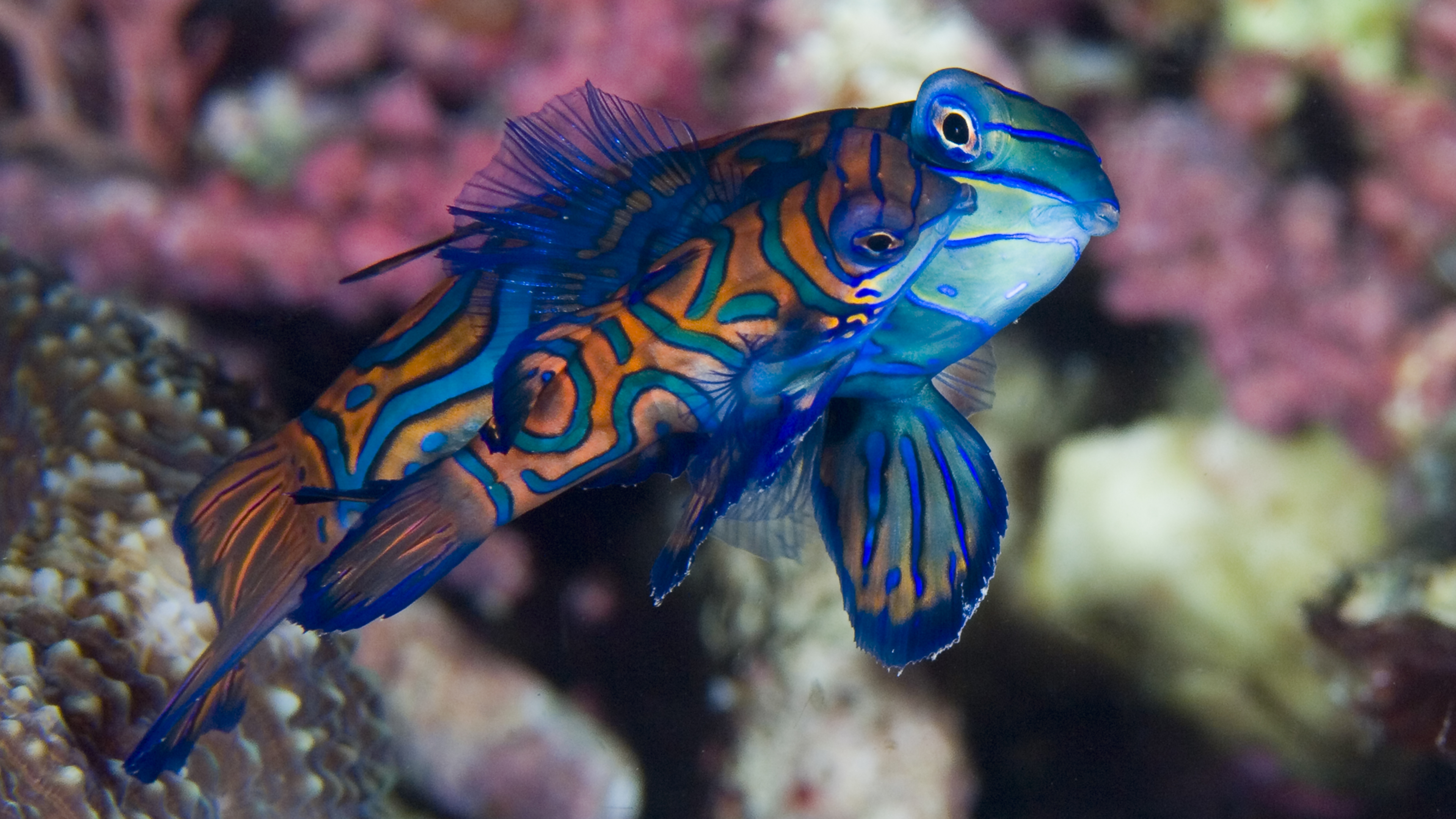 Mating Time of the Mandarin Fish