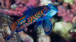 Mating Time of the Mandarin Fish