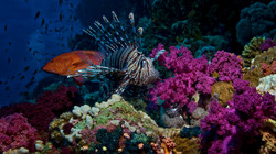 Lionfish and Coral Grouper