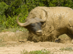 Excited African Buffalo