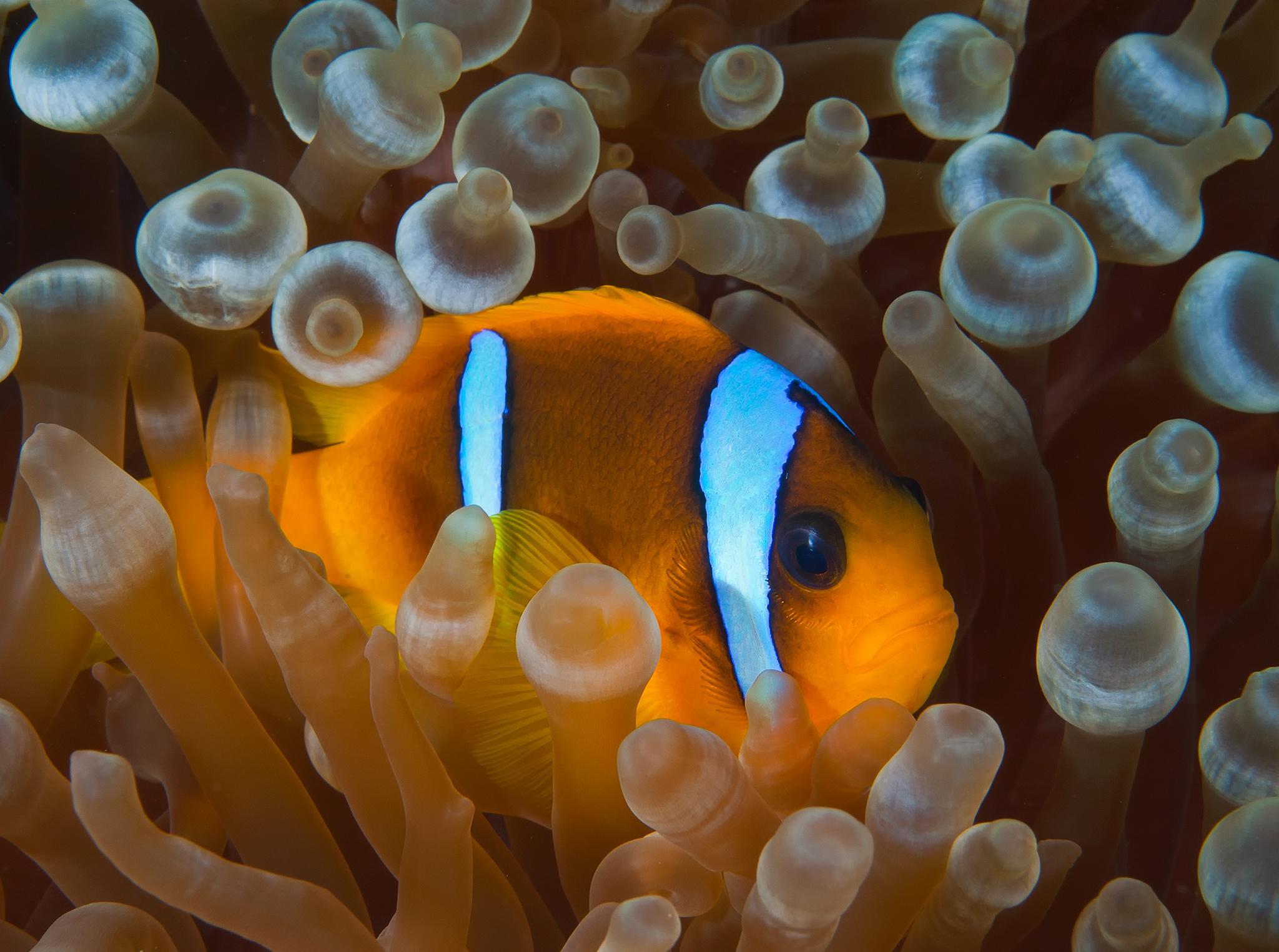Two Bar Clownfish