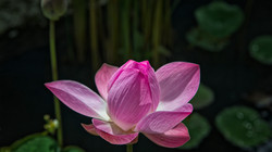 Closed Lotus Flower in Bali