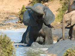 African Elephant Smiling