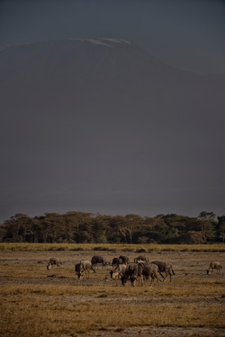 Wildebeest and Mt. Kilimanjaro