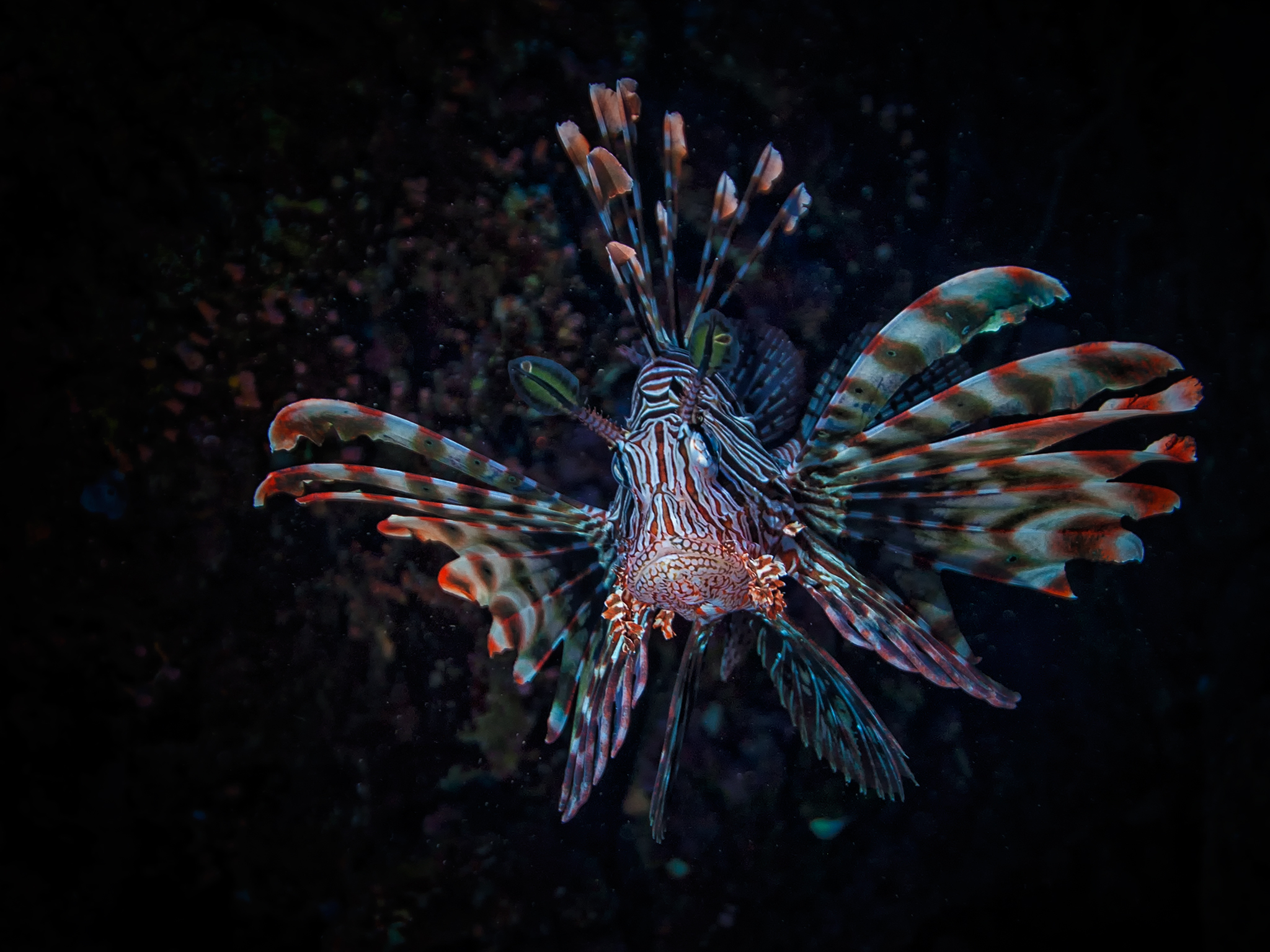 Lionfish in Red Sea
