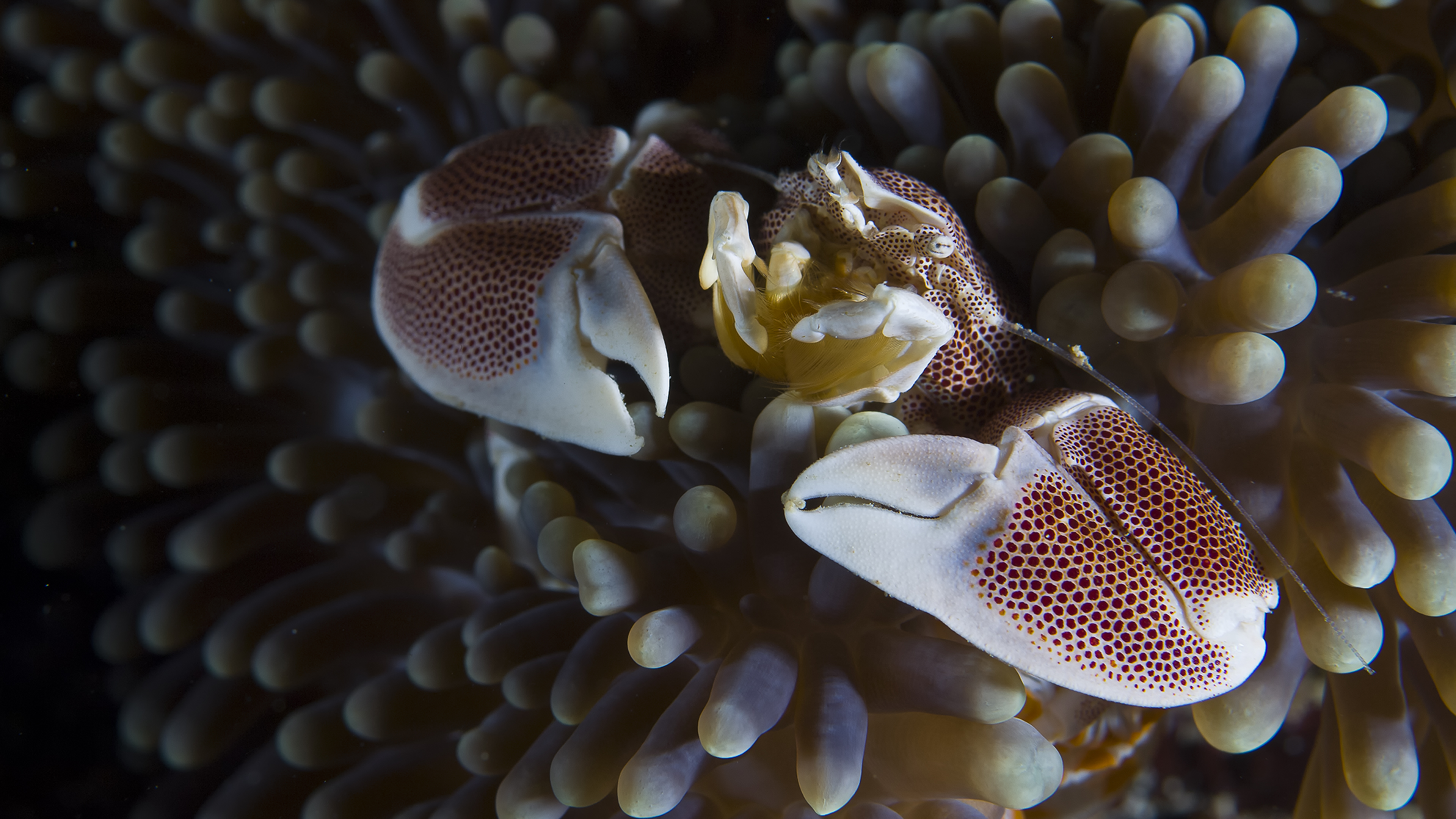 Porcelain Crab in Anemone