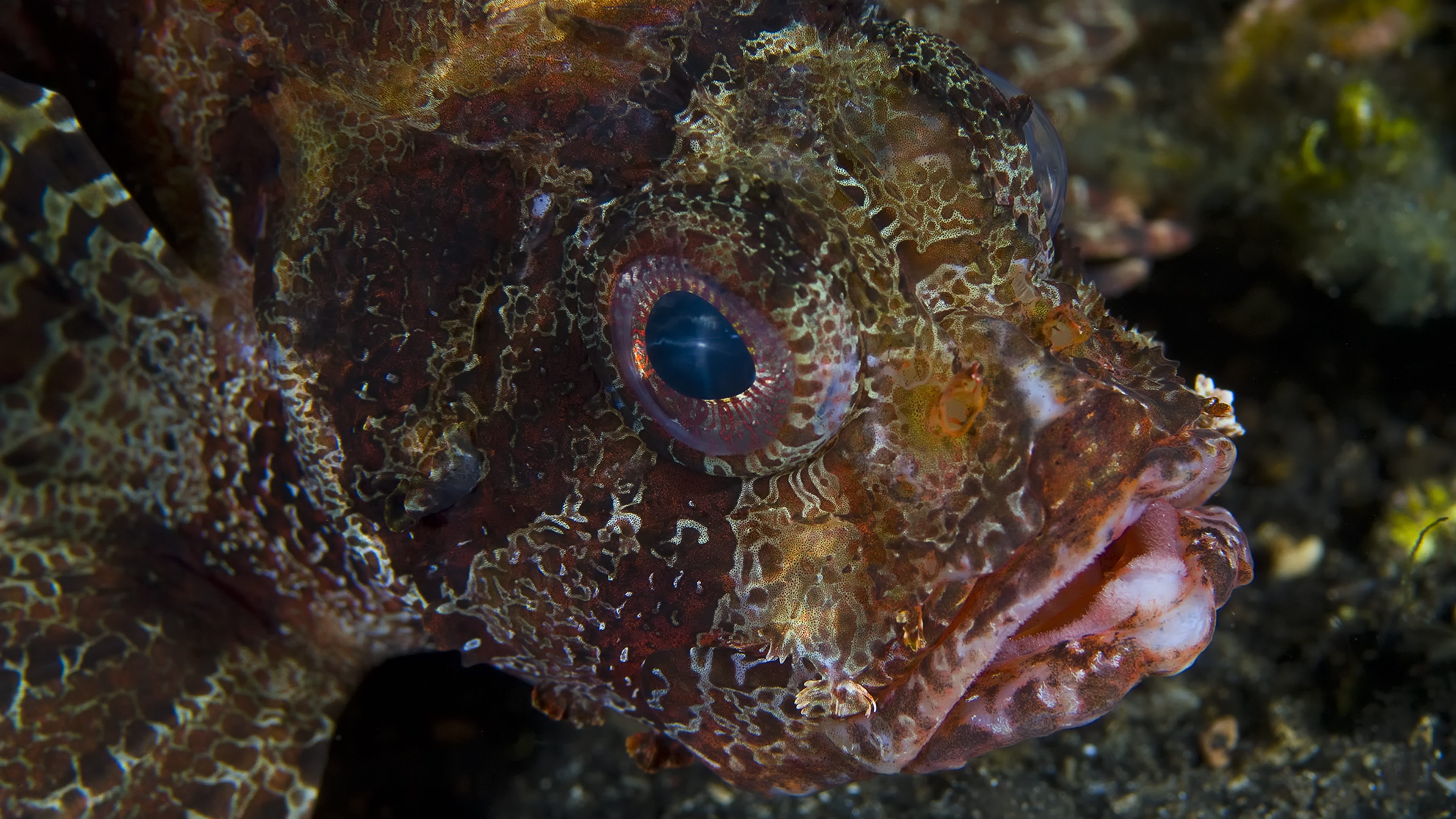 Lion Fish on Lava Sand