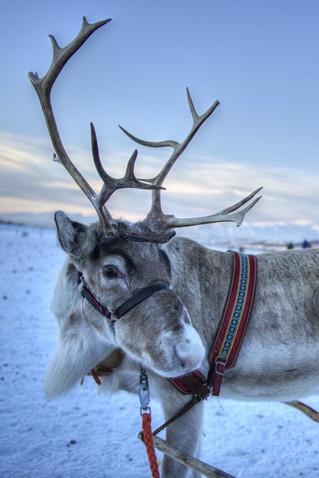 Sami Arctic Reindeer
