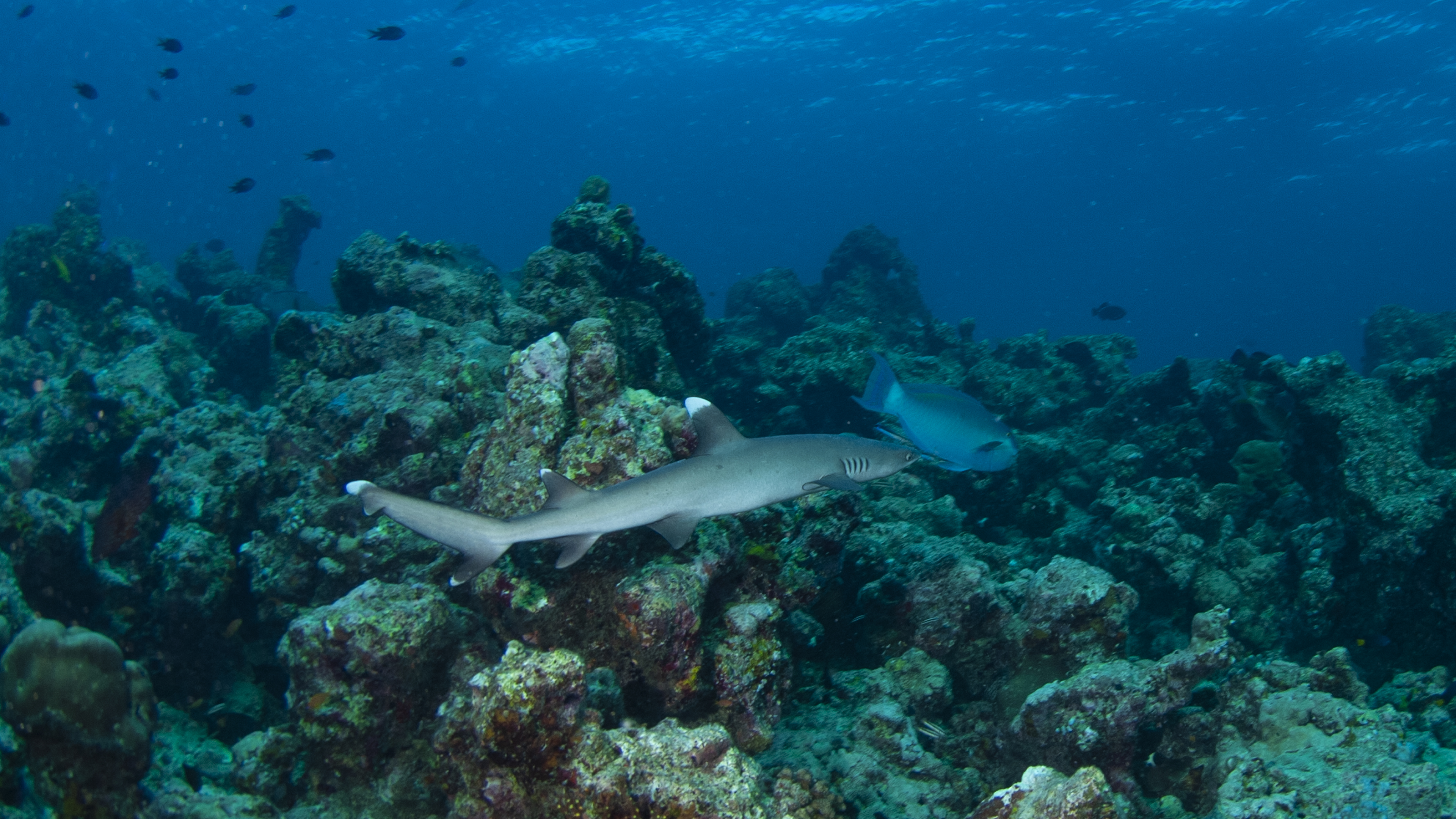White Tip Reef Shark and Parrot Fish