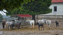 The Lipizzan with young