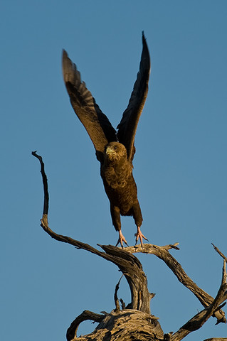 Brown Snake Eagle, Botswana