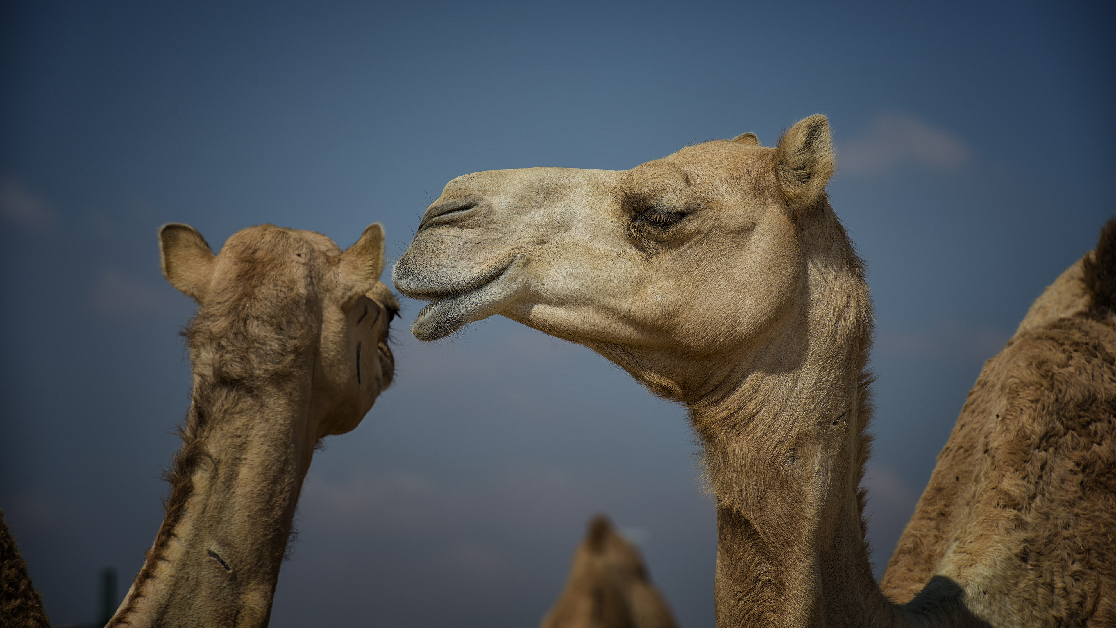 Camels really do chat