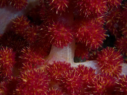 Soft Coral Buds