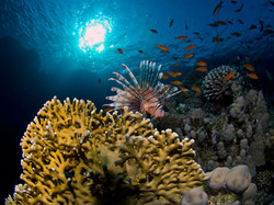 Lionfish and Fire Coral