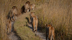 Lions Travelling