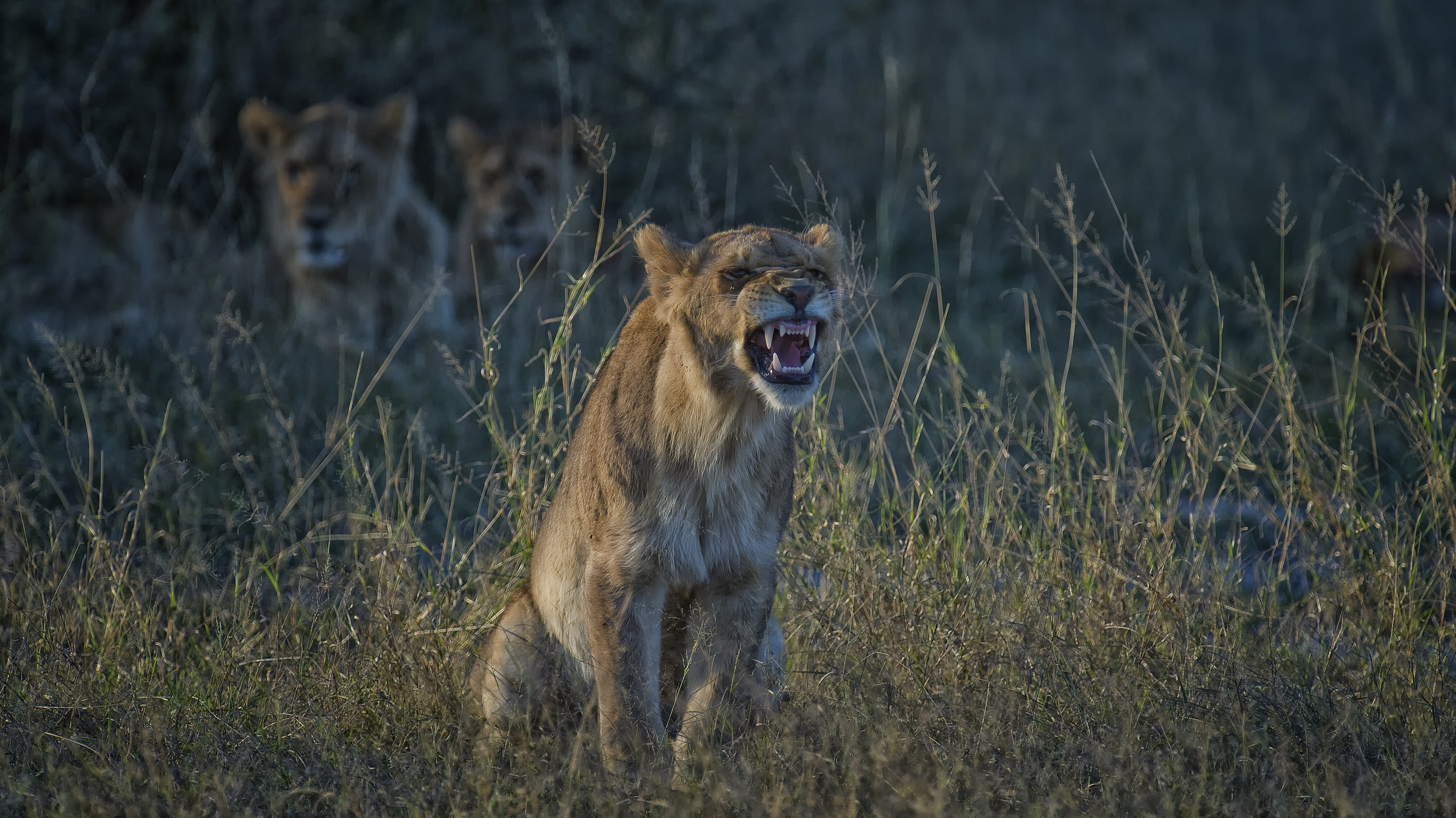Lion Teeth in Grass