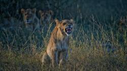 Lion Teeth in Grass