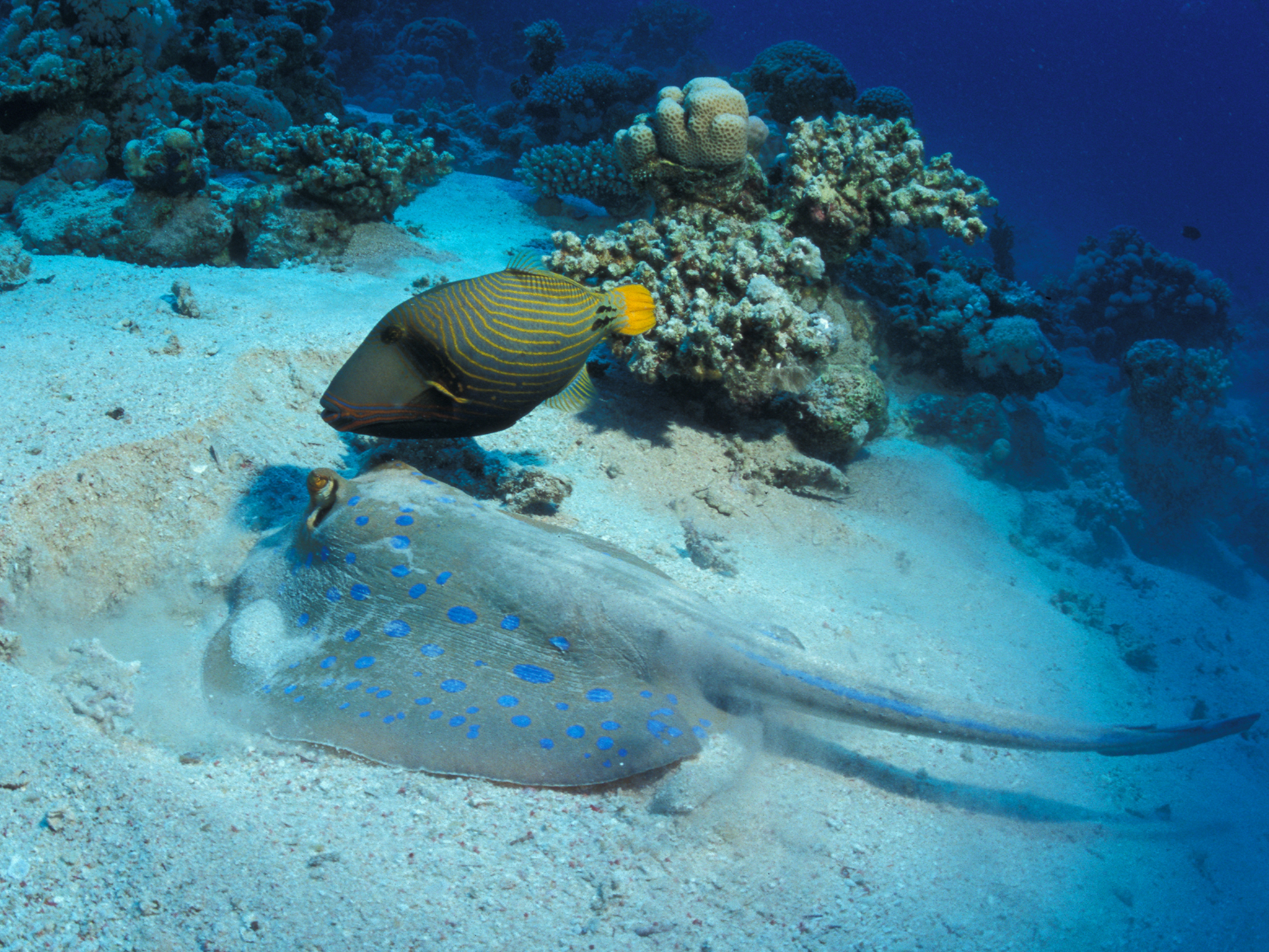 Stingray and Triggerfish