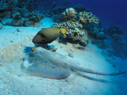 Stingray and Triggerfish