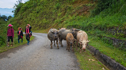 Water Buffalo in Lao Cai