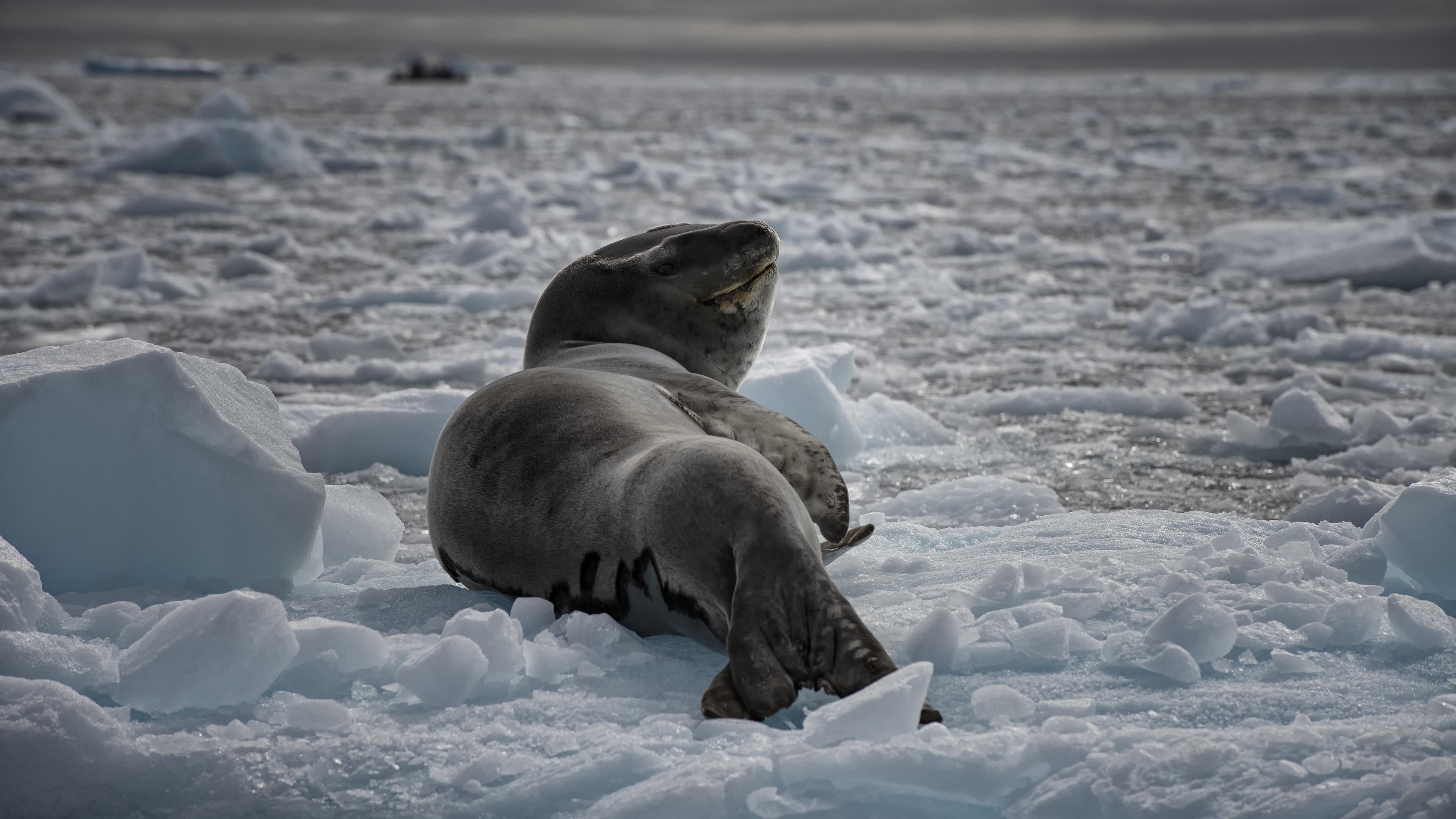 Leopard Seal near Astrolabe lsland