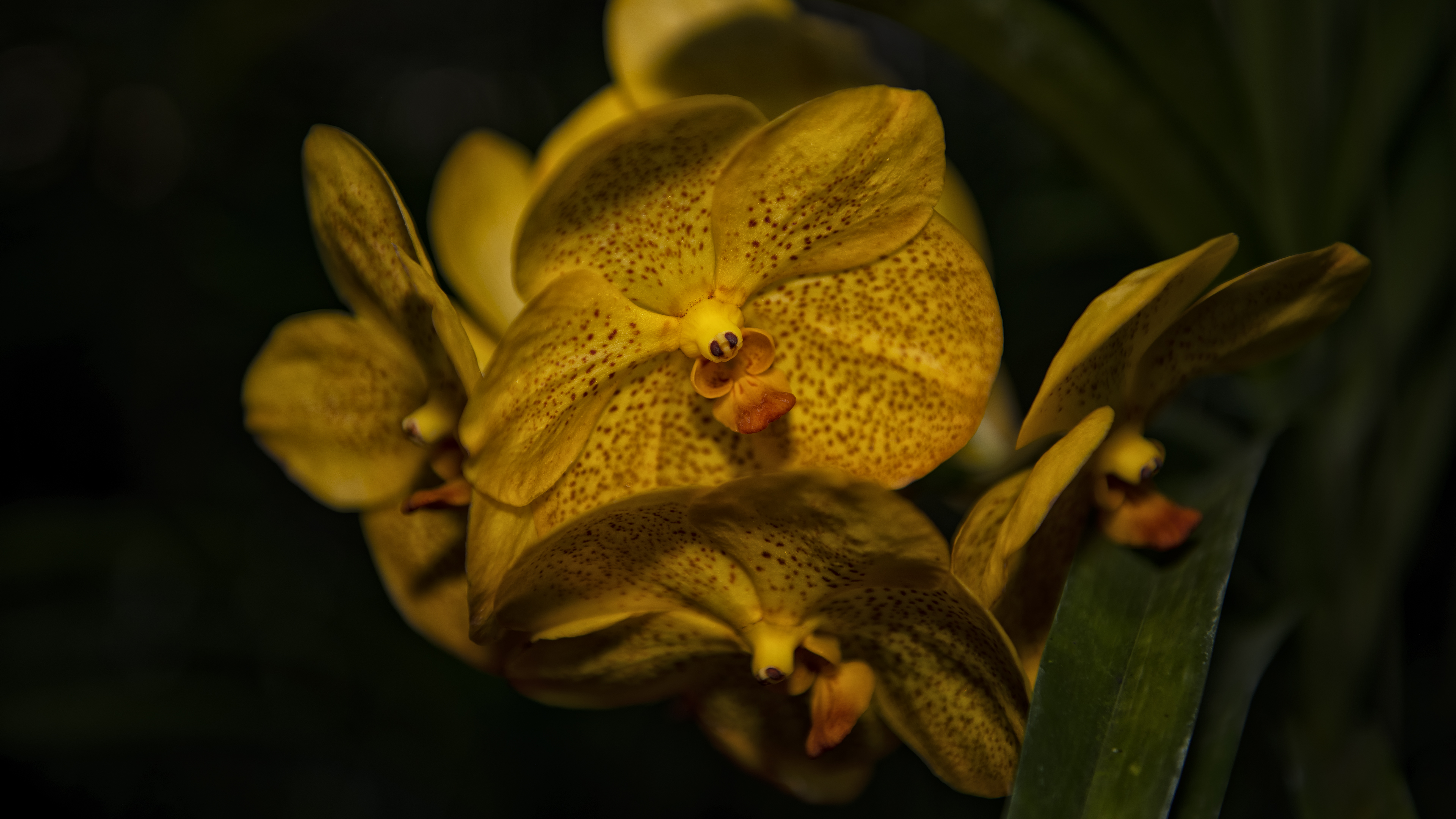 Orchid in Chiang Mai