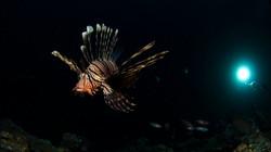 Lionfish at night