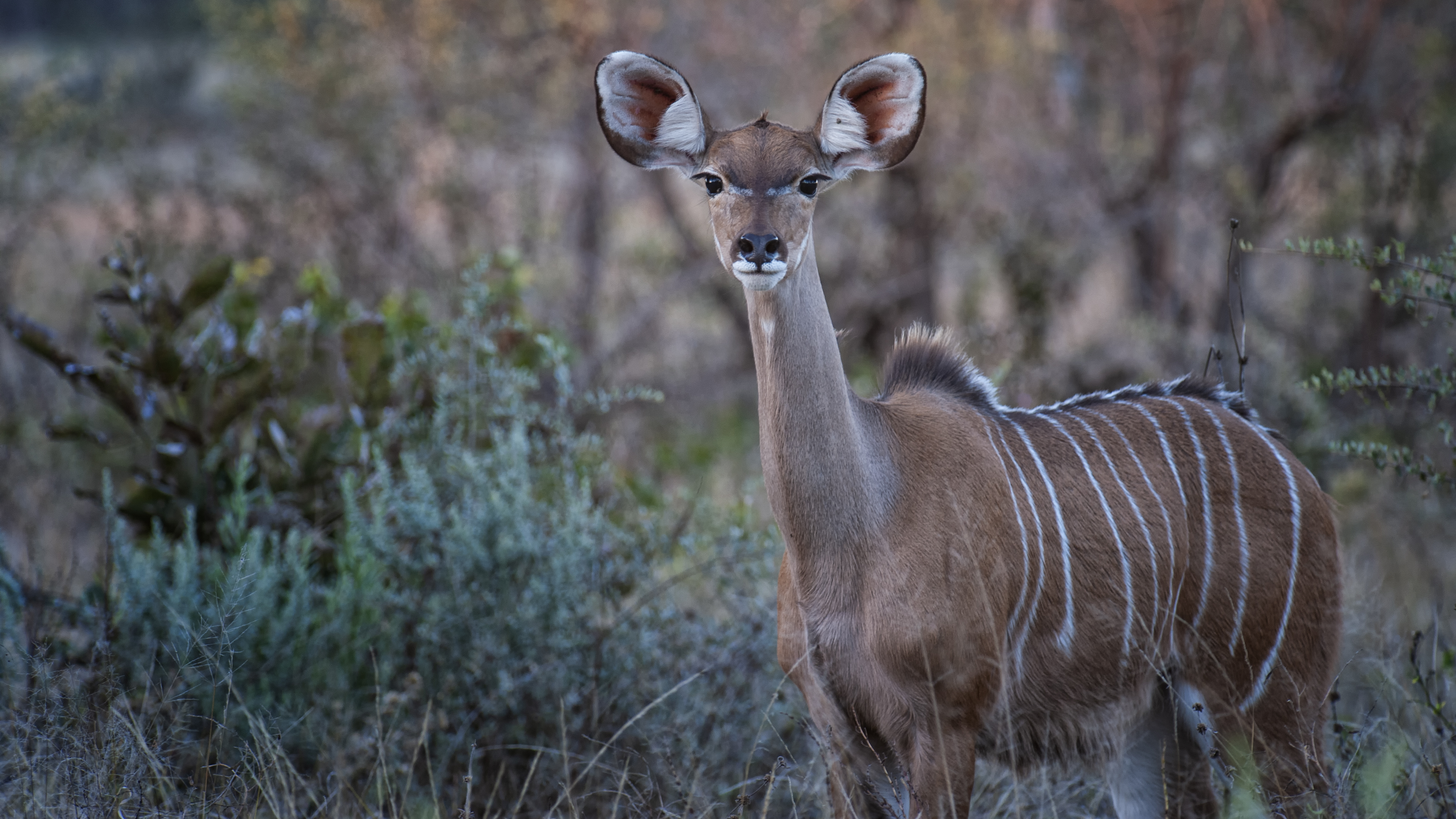 Female Kudu
