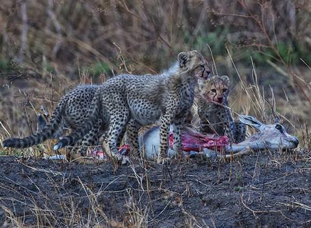 Young Cheetah Cubs