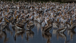 Great White Pelican Migration