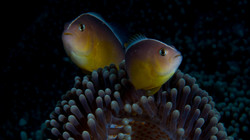 A Pair of Pink Anemonefish
