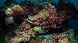 Sub Adult Emperor Angelfish