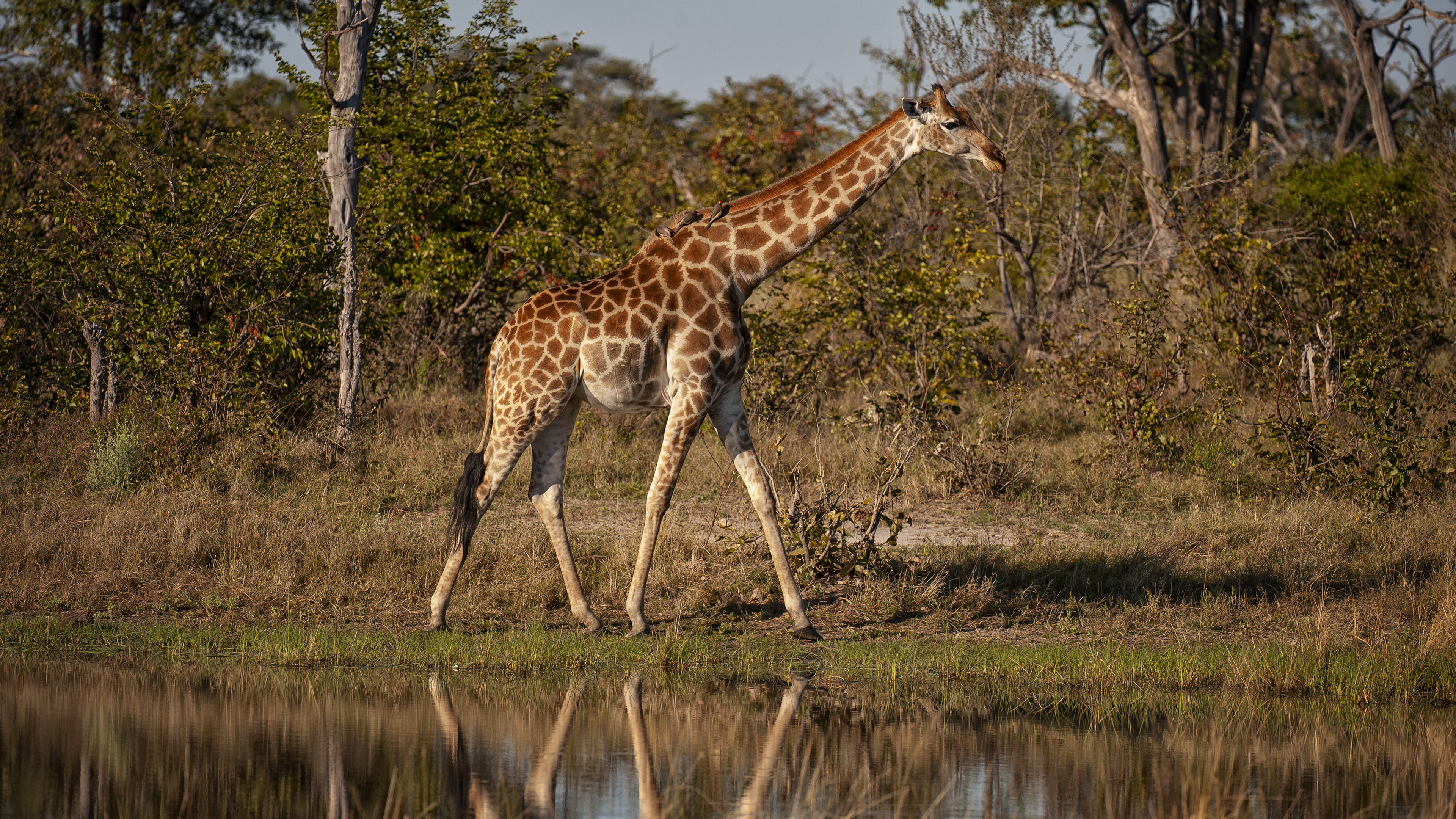 Giraffe Reflections