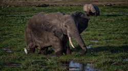 Grazing in Amboseli