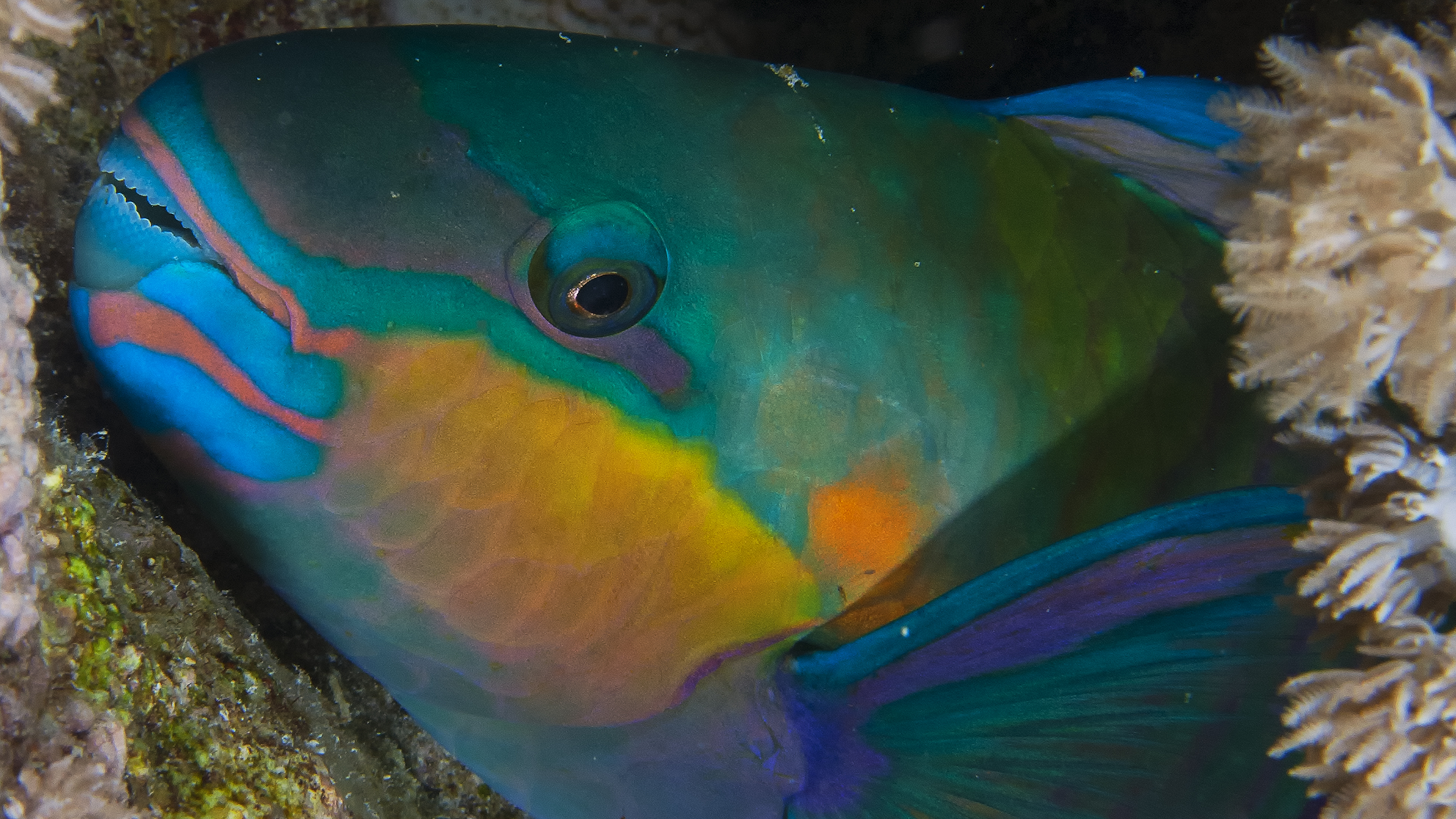 Parrotfish Preparing for Night