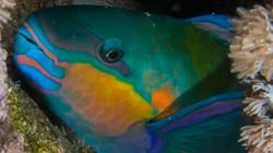 Parrotfish Preparing for Night