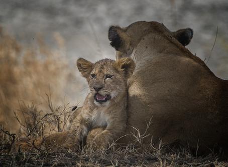 Lion Cub in the Serengeti