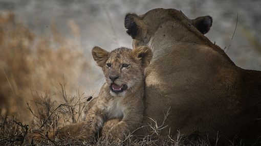 Lion Cub in the Serengeti
